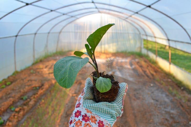 Klaar om een aubergine te planten royalty-vrije stock fotografie