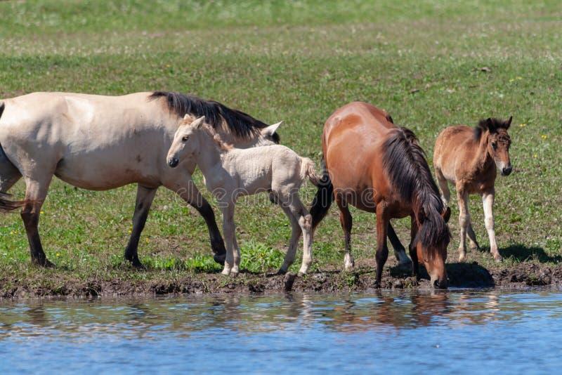 Klacze z ich źrebiętami na brzeg staw Konie przy podlewania miejscem Bashkiria zdjęcia stock