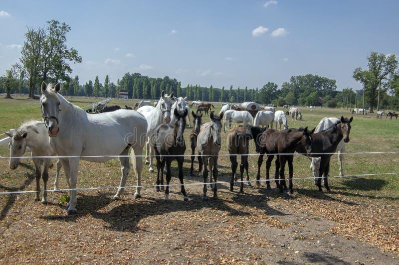 Kladruby NAD Labem, race tchèque de cheval, chevaux de Starokladruby et poulains domestiqués blancs sur le pâturage pendant le jo images libres de droits