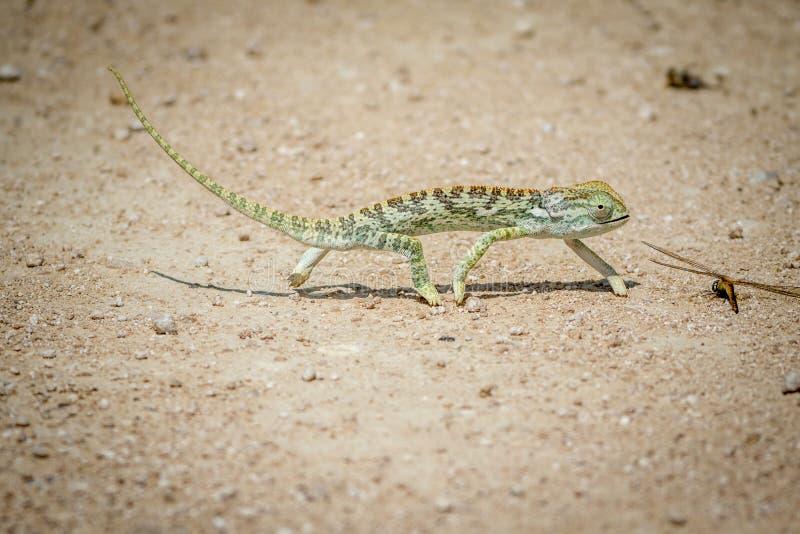 Klaff-hånglad kameleont som går i gruset arkivfoton