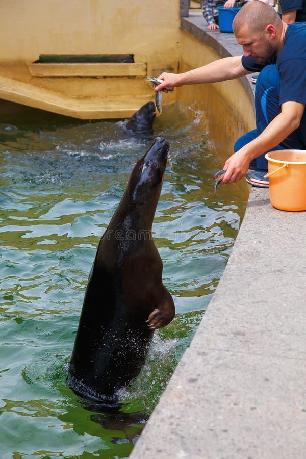 Klaipeda lithuanian 07 10 Museo marítimo 2013 Alimentación de los lobos marinos foto de archivo