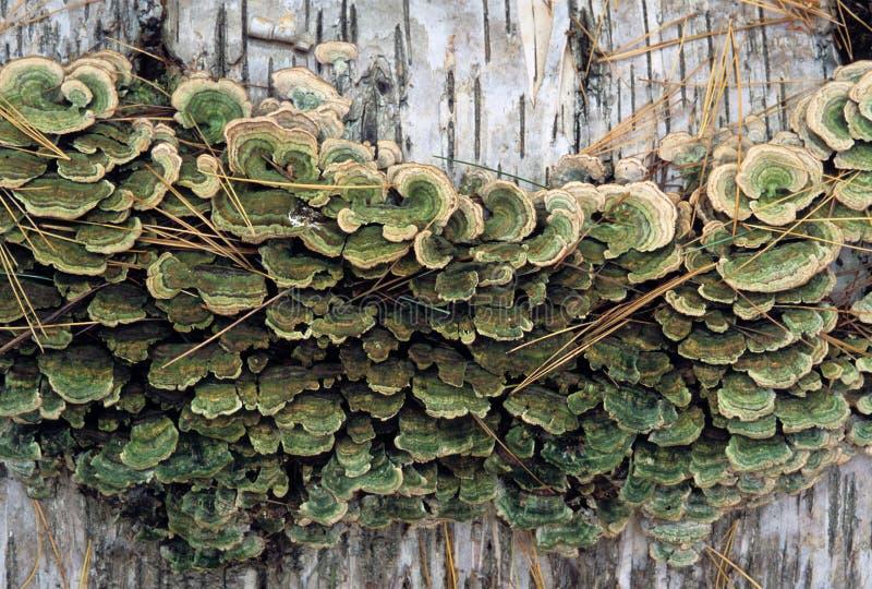 Download Klammer-Pilze Auf Birken-Klotz Stockbild - Bild von pilz, park: 90226785
