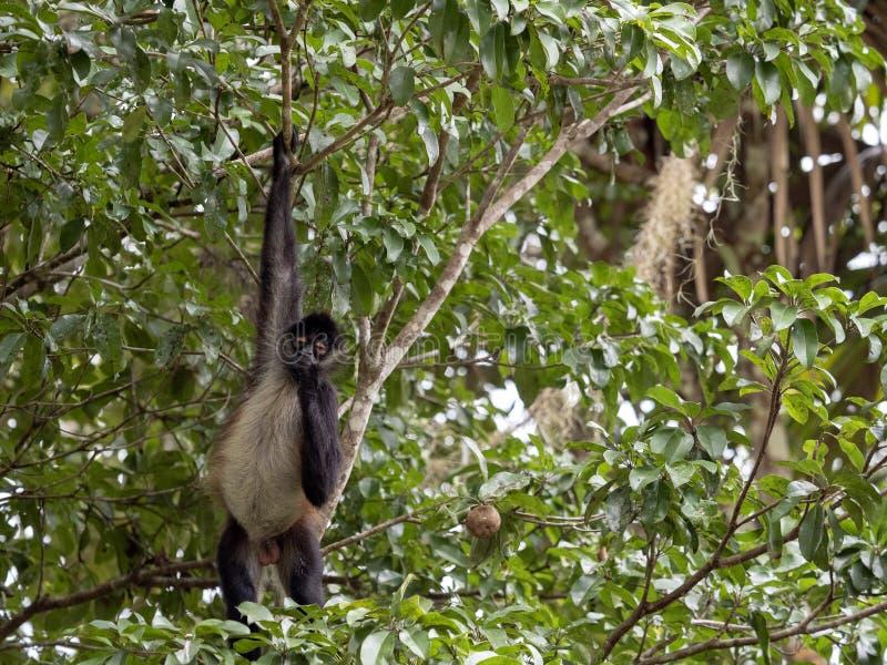 Klammeraffe, Ateles geoffroyi, wählt nur reife Früchte im Regenwald, Guatemala lizenzfreie stockfotos