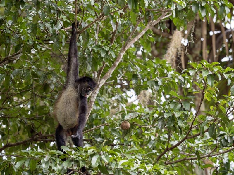 Klammeraffe, Ateles geoffroyi, wählt nur reife Früchte im Regenwald, Guatemala stockbilder
