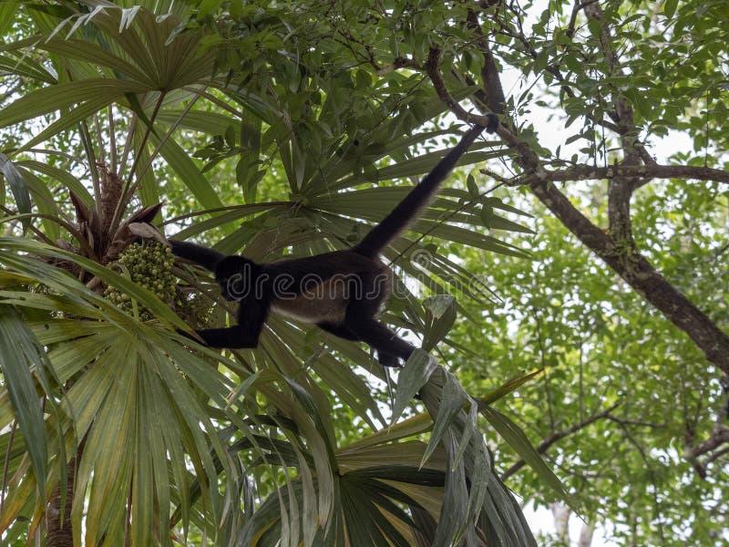 Klammeraffe, Ateles geoffroyi, wählt nur reife Früchte im Regenwald, Guatemala stockfotografie