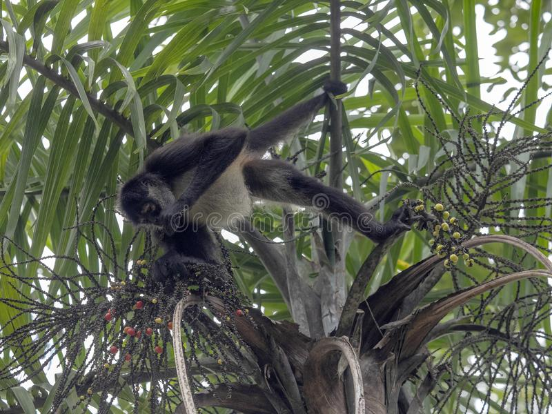 Klammeraffe, Ateles geoffroyi, wählt nur reife Früchte im Regenwald, Guatemala lizenzfreie stockbilder