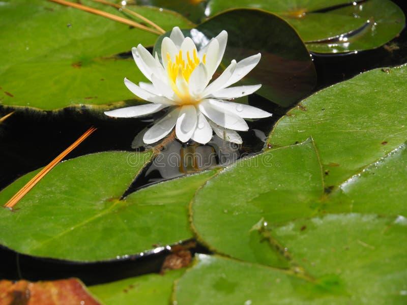 Klar dag f?r vita Lotus blomma royaltyfria bilder