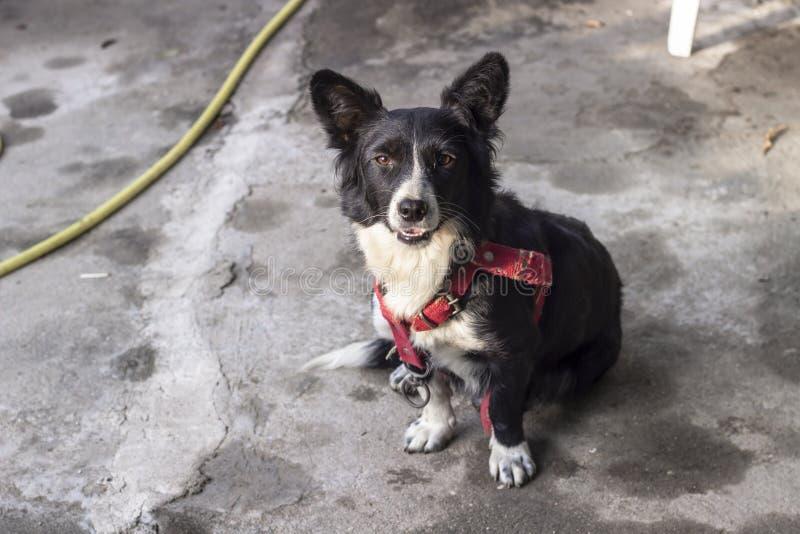 Klar fors av den lilla svarta corgihunden på härlig eftermiddagtid royaltyfri fotografi