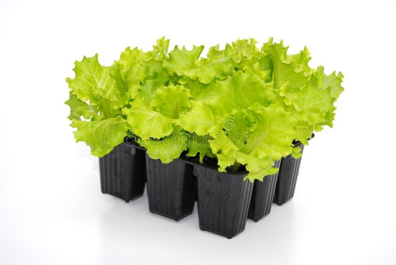 klar plantatransplantat för grönsallat royaltyfri bild