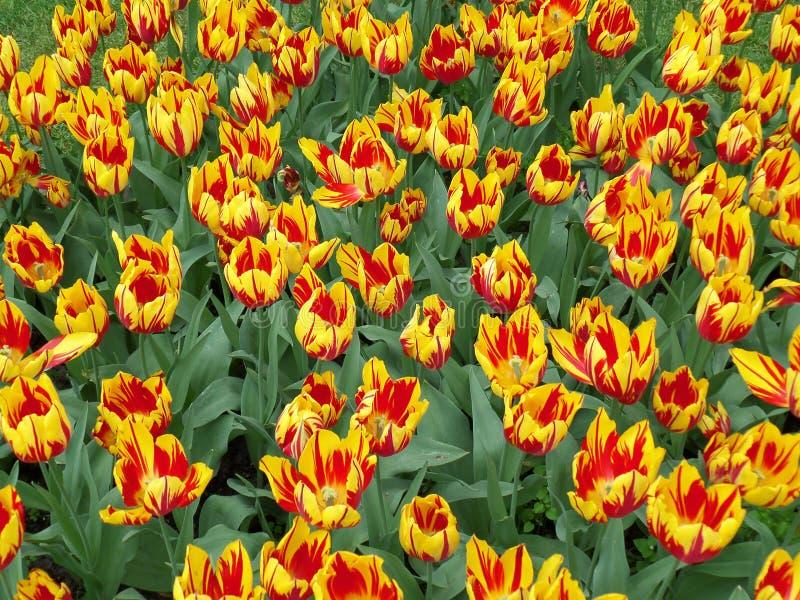 Klare Farbe Mickey Mouse Tulips, einer der ältesten Gruppe der Tulpen in der Bearbeitung stockbild