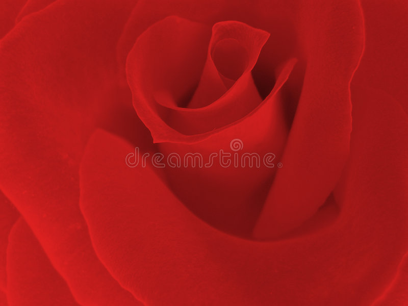Klare rote Rose stockbild