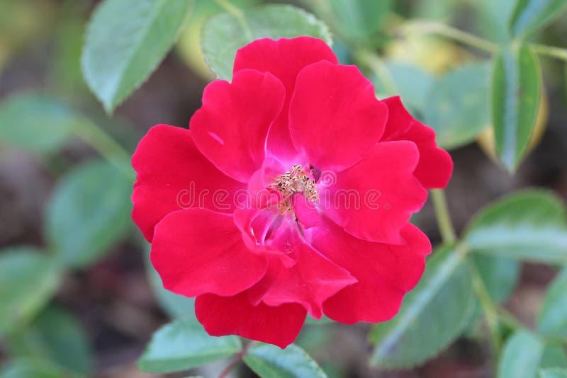 Klare und rote schöne Blume lizenzfreie stockbilder