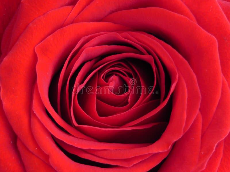 Klarer Rotrosen-Hintergrundabschluß oben Einzelne rote Rose Blume Hintergrund lizenzfreie stockfotos