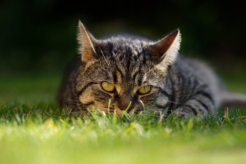 KLarge Tabby Cat masculine avec des oreilles soutiennent photographie stock libre de droits