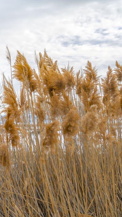 Klart vertikalt slut upp av bruna gräs med en vidsträckt snöig terräng i bakgrunden arkivfoto