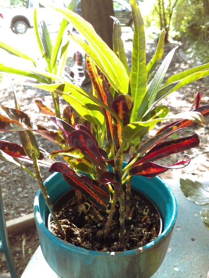 Klasse Codiaeum variegatum ALIAS Mama lizenzfreie stockfotografie