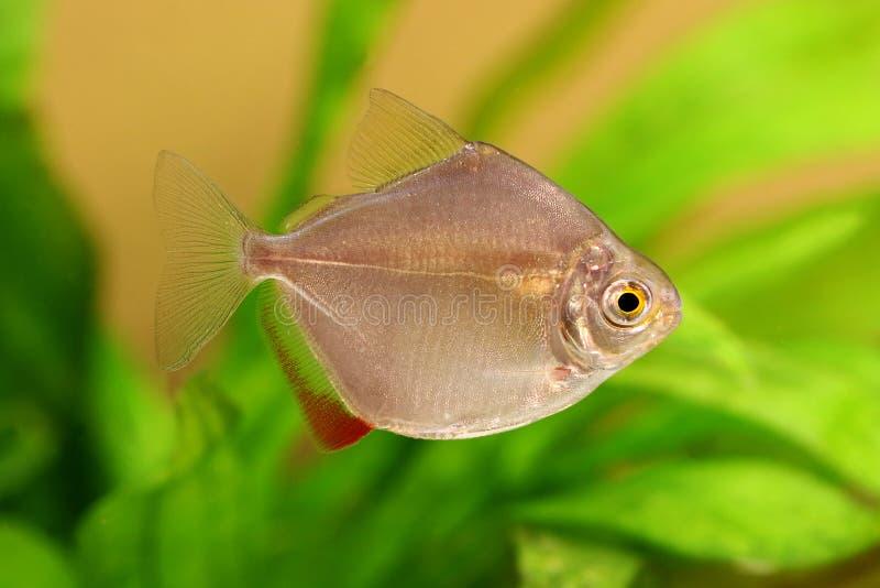 Klasse metynnis des silbernen Dollars, die Aquariumfische schulen stockfoto