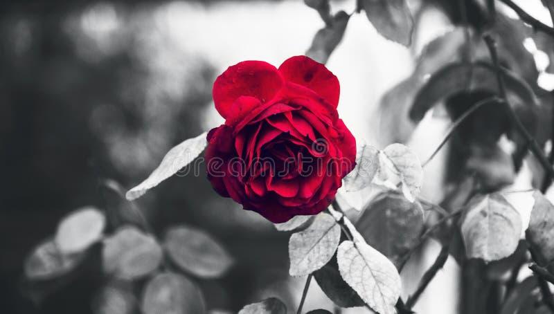 Klassieke Perfecte Tuin Rode die Rose And Thorns in Regen met Zwart-witte Conceptueel wordt benadrukt royalty-vrije stock foto