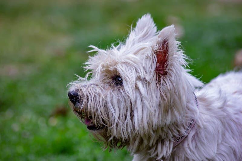 Klassifiziert als Begleiterhund, ist das maltesische eine sehr alte Zucht Tatsächlich ist es seit den römischen Zeiten anwesend g lizenzfreie stockfotos