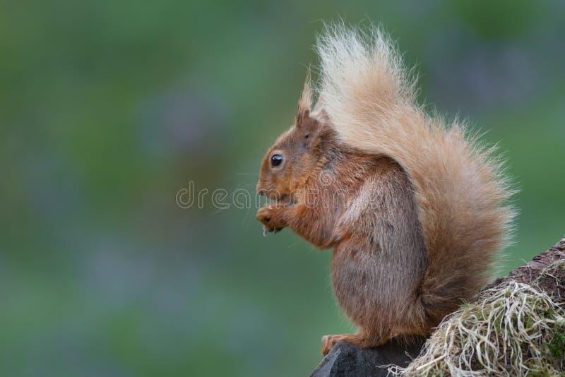 Klassische Haltung eines Eichhörnchens lizenzfreie stockfotos