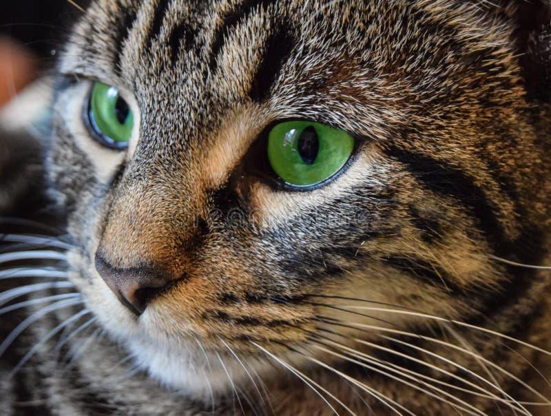 Klassische Tabby Green Eyes lizenzfreie stockfotografie
