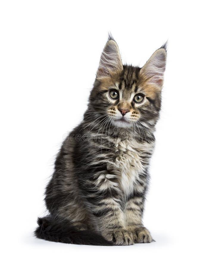 Klassisk kattunge för strimmig kattmaine tvättbjörn som isoleras på vit bakgrund arkivfoto
