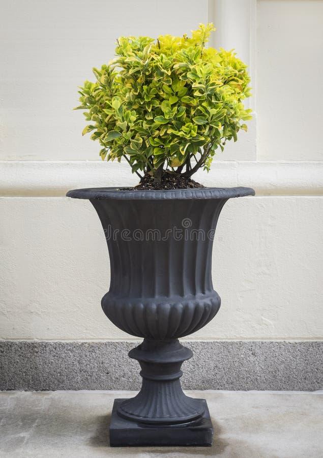 Klassisk urna med den runda topiaryen royaltyfri fotografi