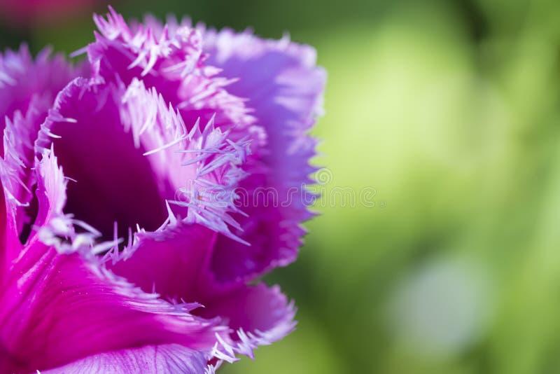 Klassiska Rose Tulips av det Menton slaget mot suddig bakgrund Lokaliserat i Keukenhof royaltyfria bilder