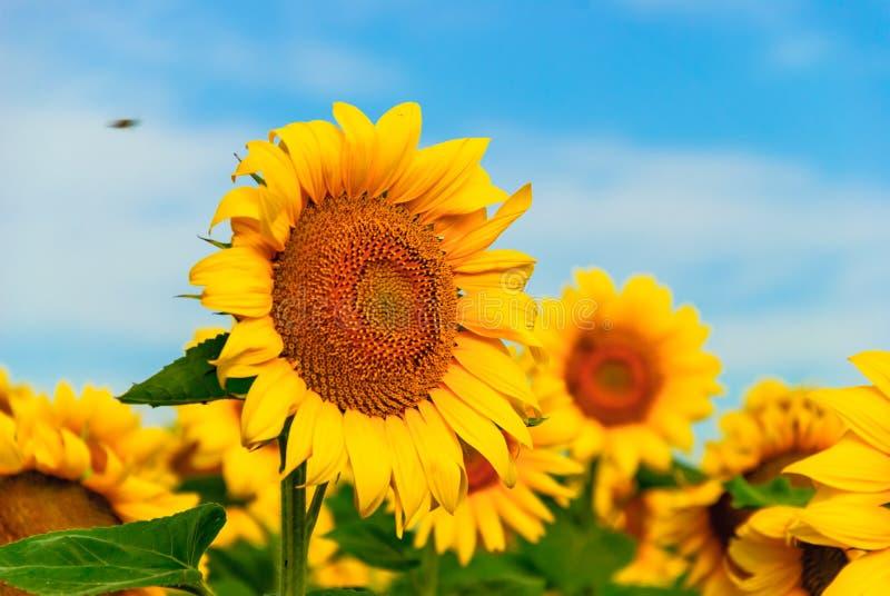 Klassiskt fält för solros under klar blå himmel arkivbild