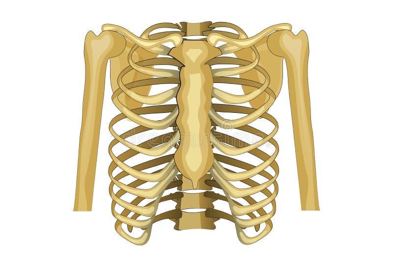 Klatka piersiowa, górny ciało ilustracja wektor