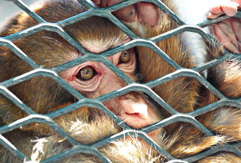 klatki smutny małpi zdjęcia royalty free