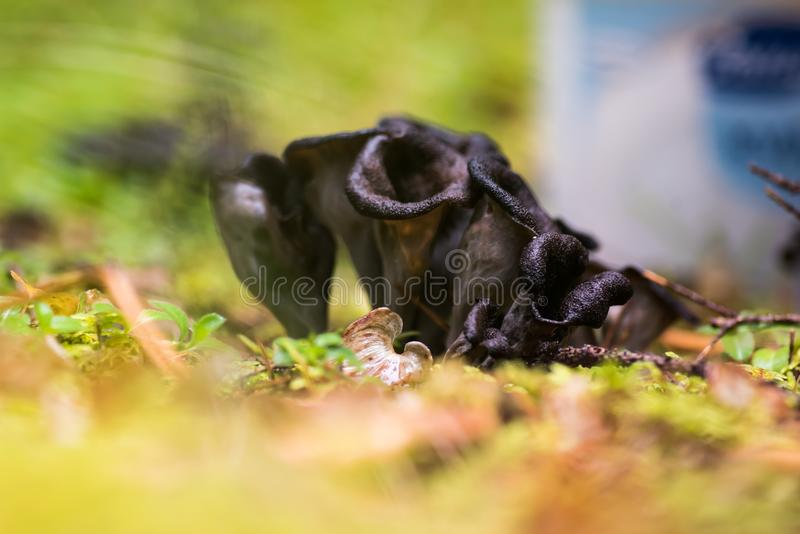 Klaxon des champignons de trompette de noir d'abondance photographie stock