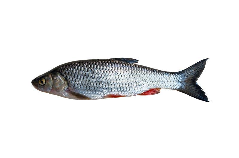 Kleń ryba obraz royalty free