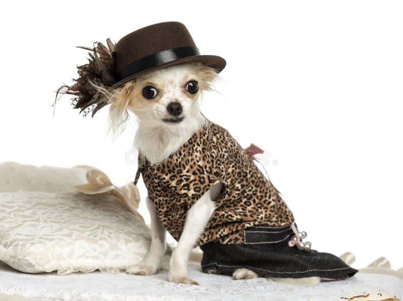 Kleden-op Chihuahua-geïsoleerde zitting op een tapijt, stock fotografie