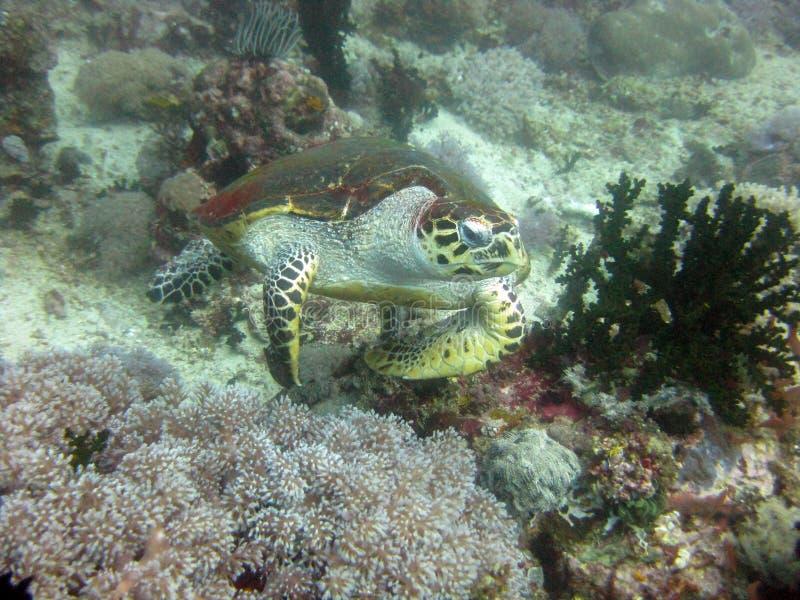 Kleding onder water van een kleine bruine zeeschildpad die in de buurt van een koraalrif zwemt royalty-vrije stock afbeeldingen