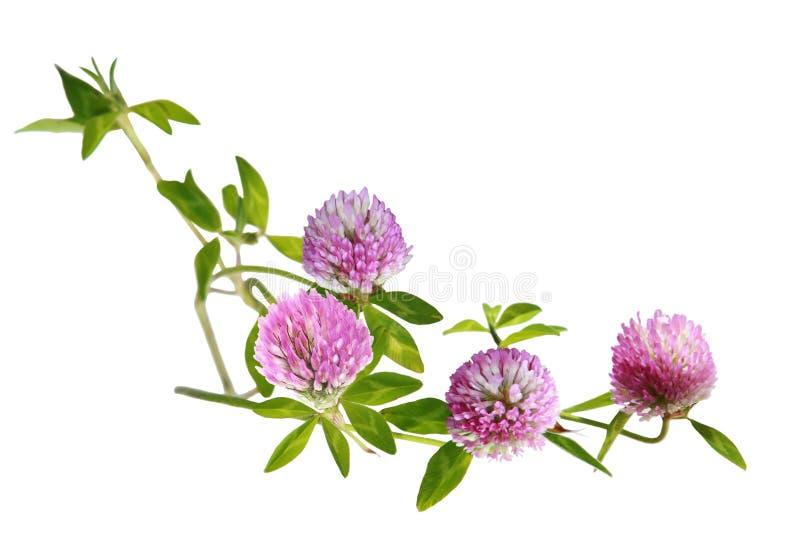 Klee-Blume stockbild