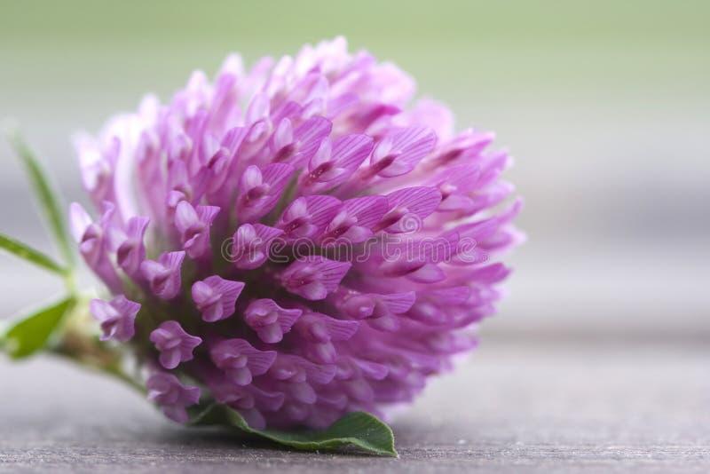 Klee-Blume lizenzfreies stockbild