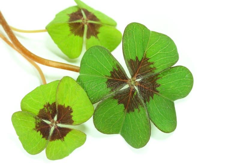 Klee mit vier Blättern stockfotografie