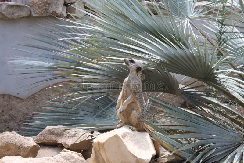 Klein Afrikaans knaagdier die de horizon en op alarm aftasten stock afbeelding