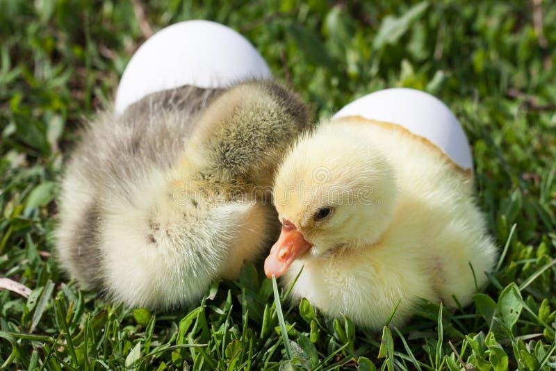 Klein binnenlands gansje twee met gebroken ei in groen gras royalty-vrije stock fotografie