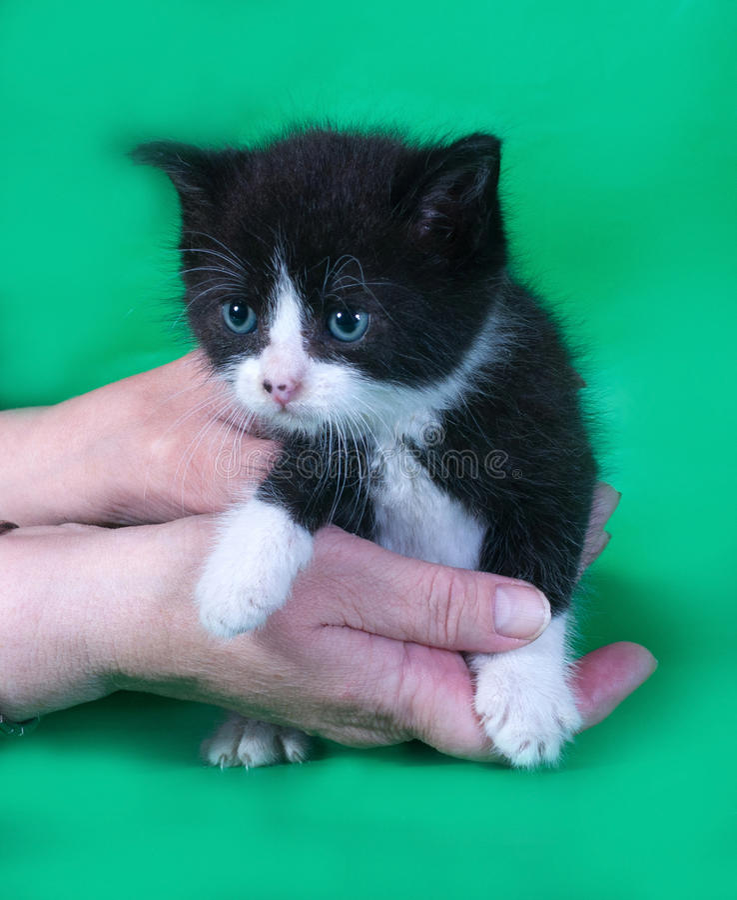 Klein boos zwart-wit katje ter beschikking op groen stock fotografie