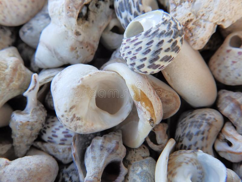Klein doted overzeese shells, close-up stock foto