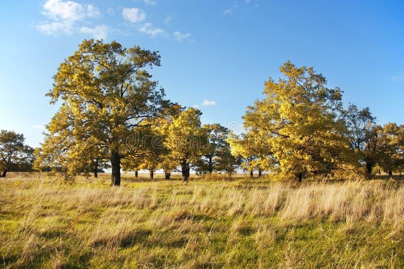 Klein eiken bosje op een gebied tegen een duidelijke blauwe hemel royalty-vrije stock afbeeldingen