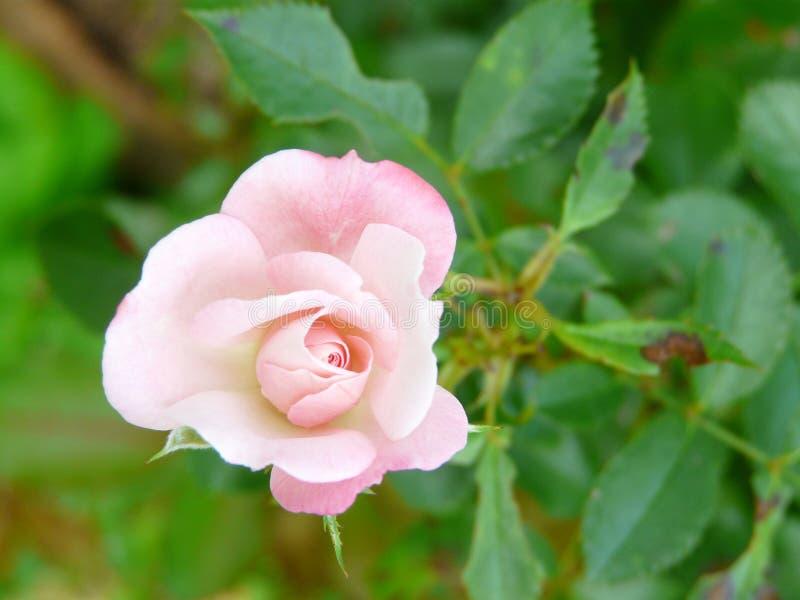 Klein erblassen Sie - Rosarose Rosaceae lizenzfreies stockbild