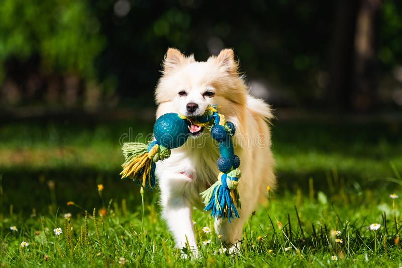 Klein för spitz för Pomeranian hund som tysk hämtar en leksak som kör in mot kamera arkivfoto
