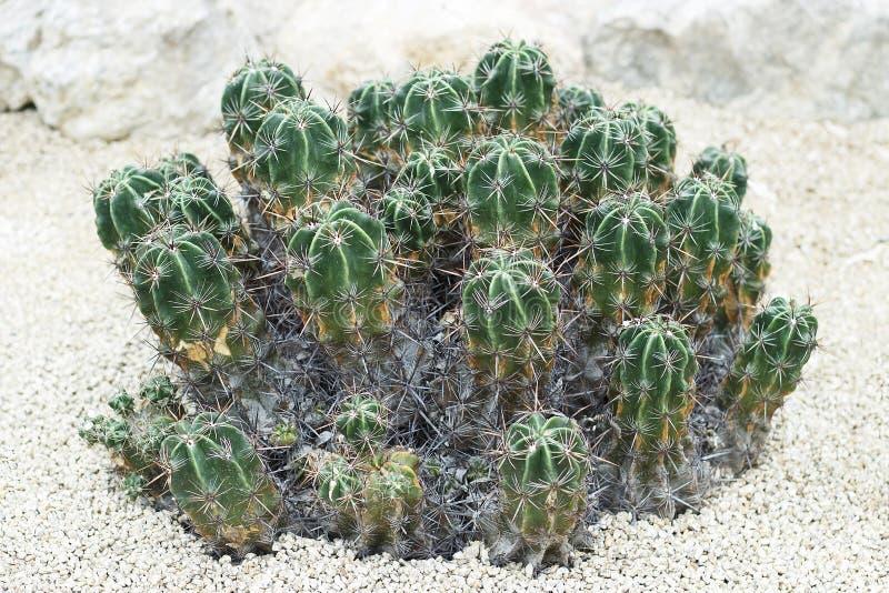 Klein groen cactusclose-up, vooraanzicht, natuurlijke achtergrond stock fotografie