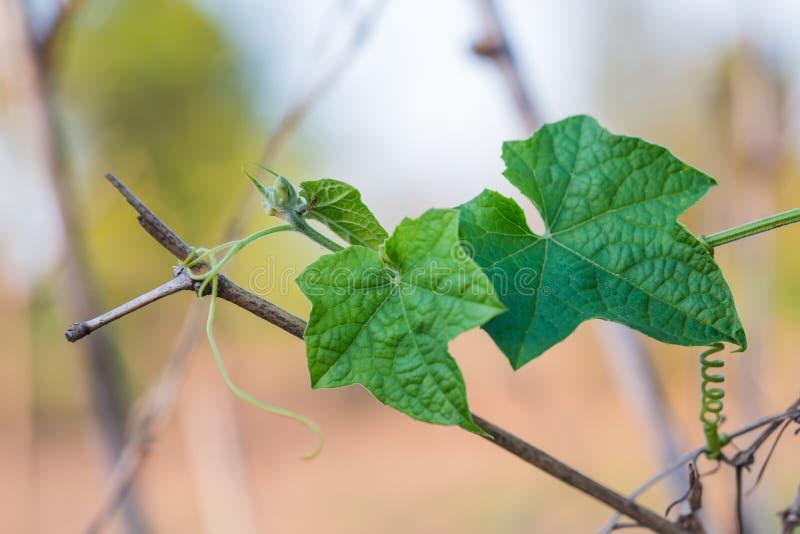 Klein groen merg met bloem het groeien op het plantaardige bed stock afbeelding