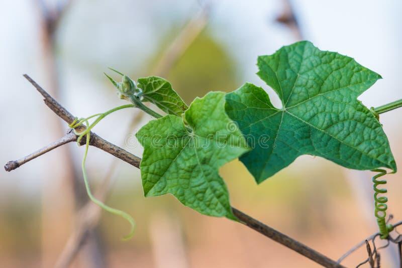 Klein groen merg met bloem het groeien op het plantaardige bed royalty-vrije stock foto's