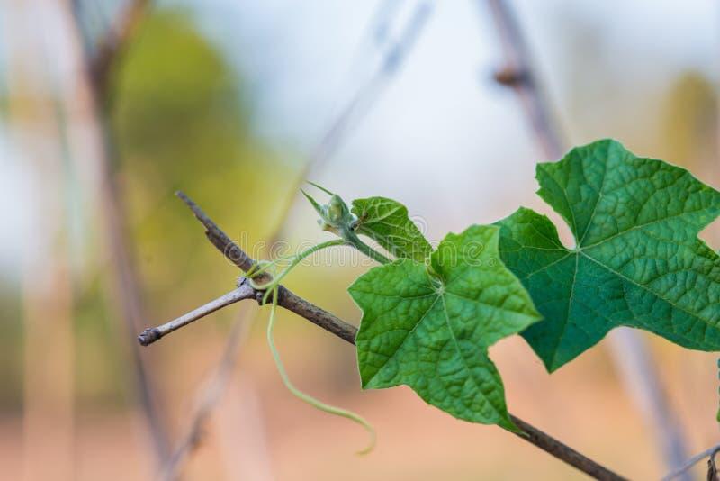 Klein groen merg met bloem het groeien op het plantaardige bed stock foto's