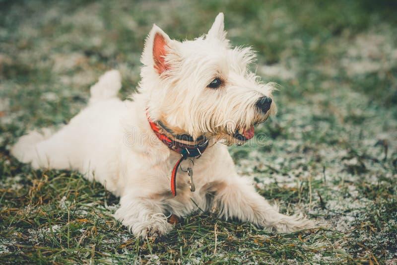 Klein het Westenhoogland Witte Terrier - Westie, Westy-Hond royalty-vrije stock fotografie